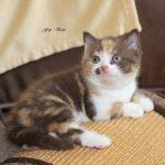Fey ´Eria 6,5 Wochen, ging mit ihrem Bruder Jack zu Friedericke & Robert, deren Eltern bereits 2 Kitten aus dem A- Wurf haben